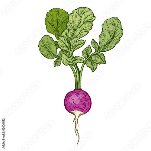 Radish Botanical Drawing | www.pixshark.com - Images ...