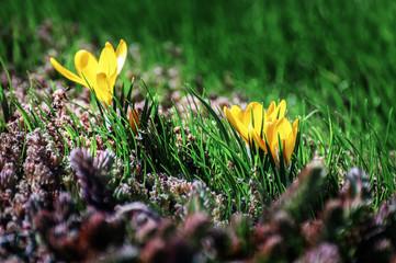 Yellow crocus flower among green grass and moss