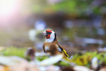 European goldfinch among the fallen leaves in the water with sunny hotspot