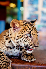 Baby leopard in the street of Kanchanaburi, Thailand. Vertical s