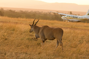 Eland antelope in front of an airplane in Masai Mara, Kenya. Wall mural