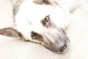Fond de hotte en verre imprimé Sheep Shepherd dog muzzle closeup