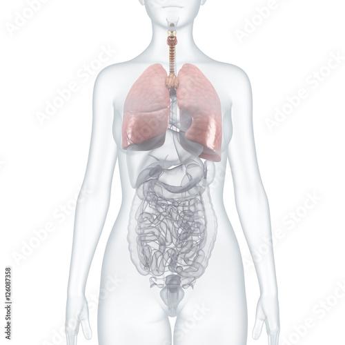 Lungen und innere Organe: anatomische Illustration – transparenter ...