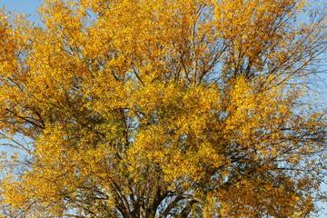 Chopo con hojas amarillas en otoño. Populus.