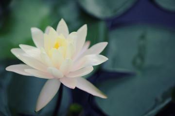 Printed roller blinds Lotus flower Lotus flower in close up