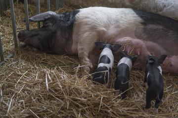 pig with piglets (presticke cernostrakate)
