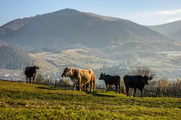 few cows on hillside meadow in mountains