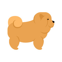 Chow chow dog. Isolated purebred dog standing on white background.