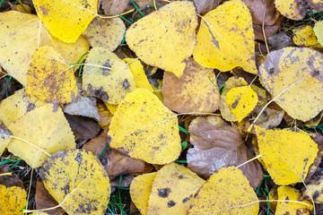 Hojas caídas de Chopo Canadiense en otoño. Populus canadensis.