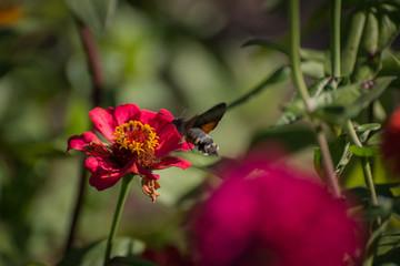 Hummingbird Hawk-moth hovering over flower.