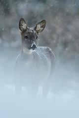 Sarny w śniegu - 126106582