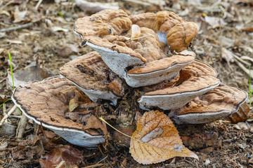 Fomes fomentarius. Hongo Yesquero en el suelo sobre restos de madera.