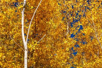 Chopos canadienses con hojas amarillas en otoño. Populus canadensis.