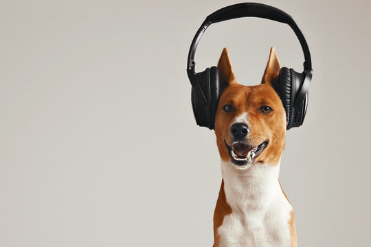 Smiling brown and white basenji dog listening to music in large black wireless headphones isolated on white