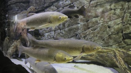 Search photos aquatic science for White amur fish