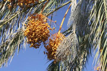 Грозди спелых, желтых фиников на пальме