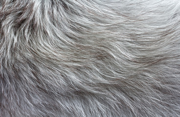 gray fluffy fur with long pile texture for background