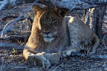 Löwe beim Relaxen