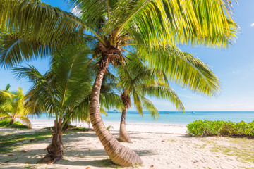Palm trees on the beach at Praslin island, Seychelles