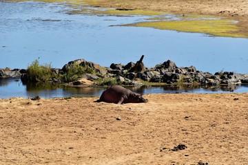 Kruger Nat. Park - Nilpferd