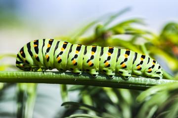 Papilio Machaon Caterpillar on Green Plant. Butterfly Green Larva.