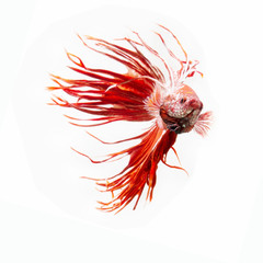 Tuinposter Abstract bloemen Siamese fighting fish show the beautiful fins tail ,Crowntail betta fish.