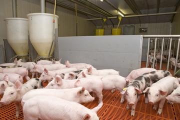 Pigs piglets