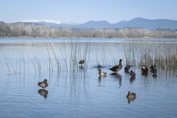 Grupo de patos en el lago