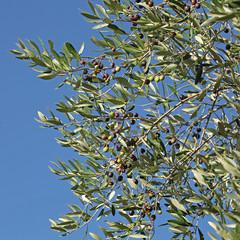 Olives vertes et noires dans un olivier
