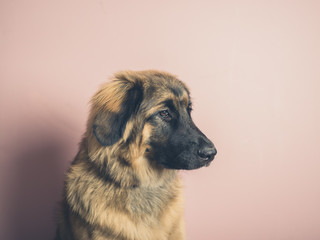 Pretty Leonberger dog against pink