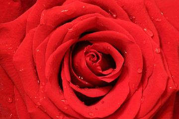 close-up image of red rose