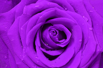 close-up image of purple rose