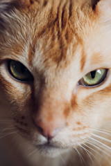 Close up portrait of face of adult male red burmese pedigree purebred cat with red fur and green eyes