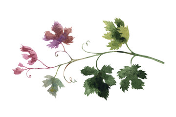 Branch of grape isolated on a white background, watercolor