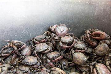 Field crab escape attempt.