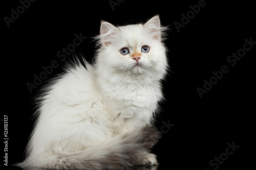 quotfurry british breed kitty white color sitting and looking