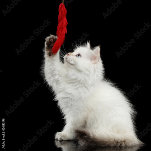 quotfurry british breed kitty white color sitting and