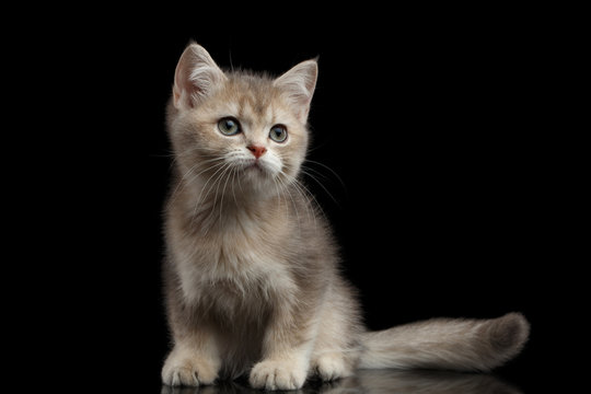 Playful British breed Kitty Beige color Sitting on Isolated Black Background with reflection, Side view