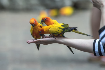 Beautiful Parrot, sun Conure , yellow parrot