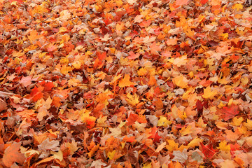 Colorful dry maple leaves on the ground