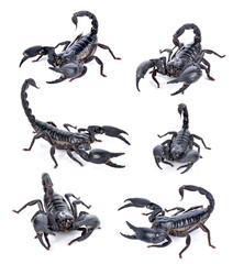 scorpion on white background
