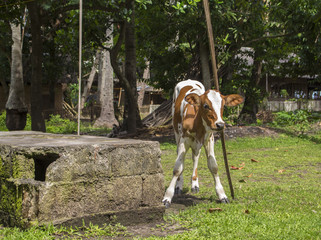 Little calf or baby cow scratching head on a wooden stick. Natural scene of village life.