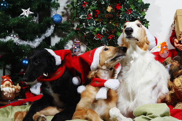 two Borzoi puppies dressed as Father-Christmas with season greetings