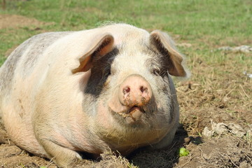 closeup of huge sow