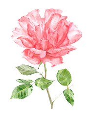 pink rose for your design. watercolor painting