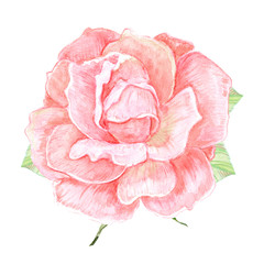 cute rose flower on white background. watercolor painting