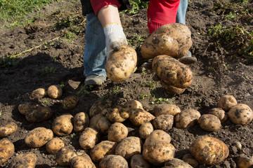 Женщина копает картофель. Очень хороший урожай картофеля.
