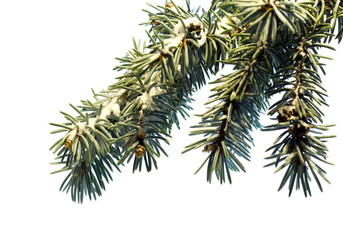 Green Coniferous  tree pine branch sprinkled with snow isolated on  white background. Concept corner frame for Christmas or New Year congratulations blank card.