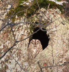Tawny owl, (Strix aluco), sitting in its nest in an old oak tree in the forest.