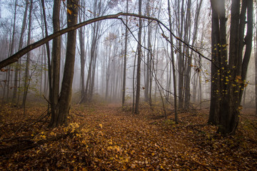 Foggy Forest Trail In Autumn. Leaves line a trail through a foggy forest autumn landscape in autumn